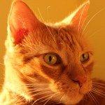 Mothers Day_Orange Cat_Corey-cats 030116 004